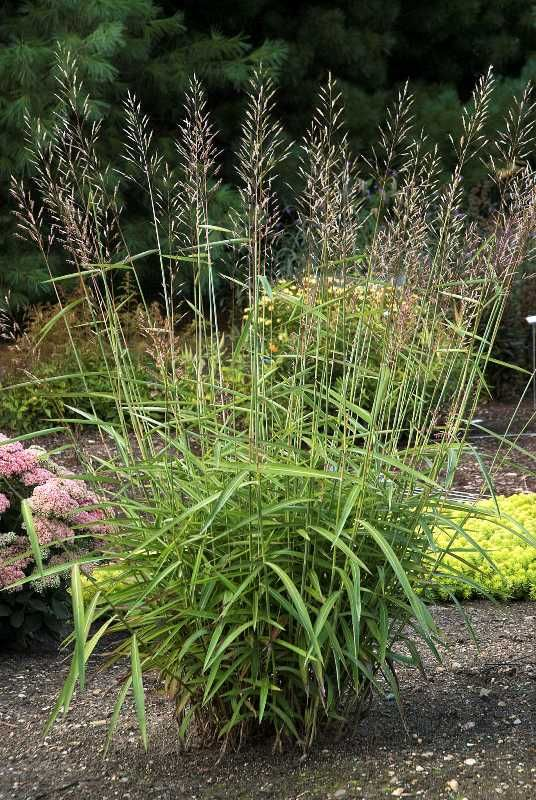 Spodiopogon sibiricus, works in sun or shade gardens. Tinged with red in fall, with a texture that reminds us of bamboo, it's one of the only larger upright grasses we've found for shadier gardens. Love it!