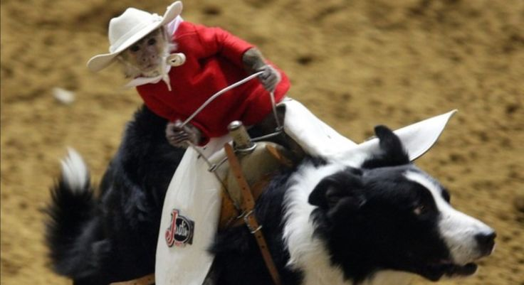 Ever heard of Whiplash the Cowboy Monkey and his trusted border collie steed, Toby? The duo is quite famous in the U.S. Whiplash, himself, is a 3-Time Pro Rodeo Entertainer of the Year, and an international star who has starred in commercials and has even had movie and TV cameos.