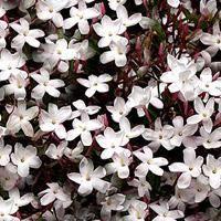 Jasminum Polyanthum (Chinese Jasmine)