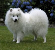Japanese Spitz - Had a dog like this one growing up.  My dog Nakupenndia (Naku for short) She lived to be 15.  Loved that dog!  <3 Karalu <3