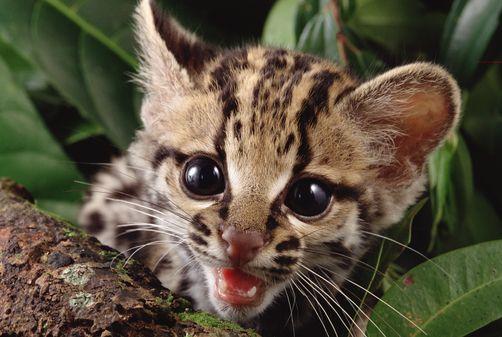 Cute Donkey Wallpaper Baby Margay Google Search Margay Small Wild Cats