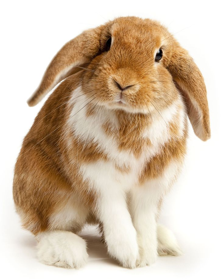 20 best Rabbit anatomy reference images on Pinterest | Bunnies ...