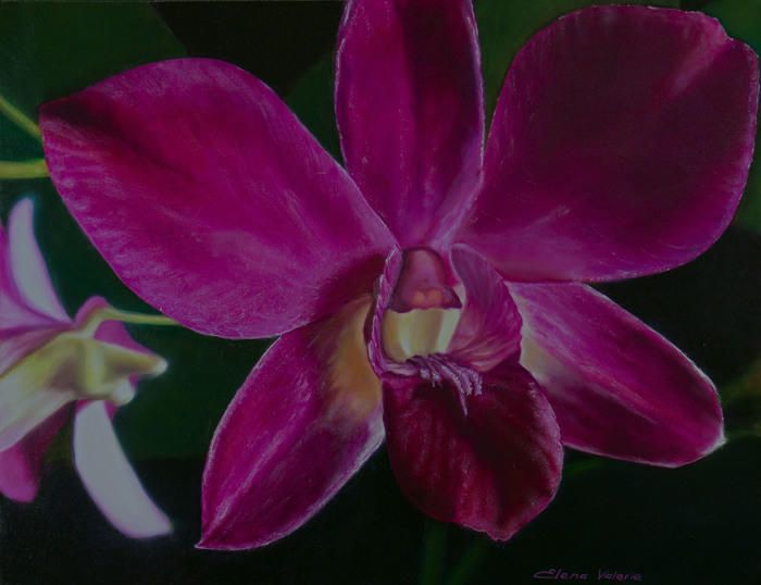 Magenta orchid is a flower of magnificence that brings a universal message of love, beauty, wisdom and thoughtfulness.