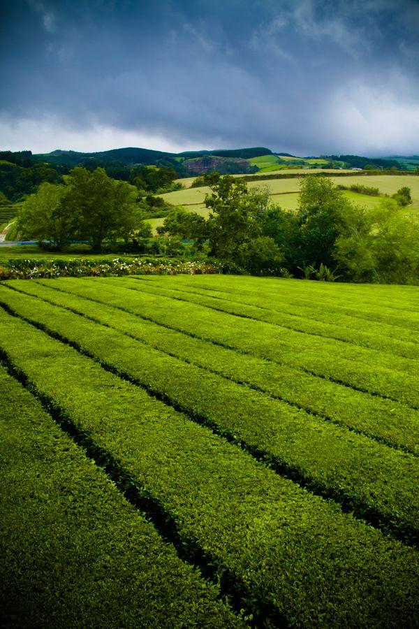 Plantações de chá em São Miguel, Açores