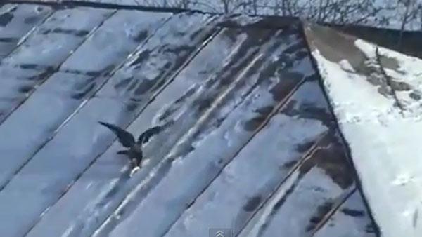 un corbeau fait du snowboard sur un couvercle - http://www.2tout2rien.fr/un-corbeau-fait-du-snowboard-sur-un-couvercle/