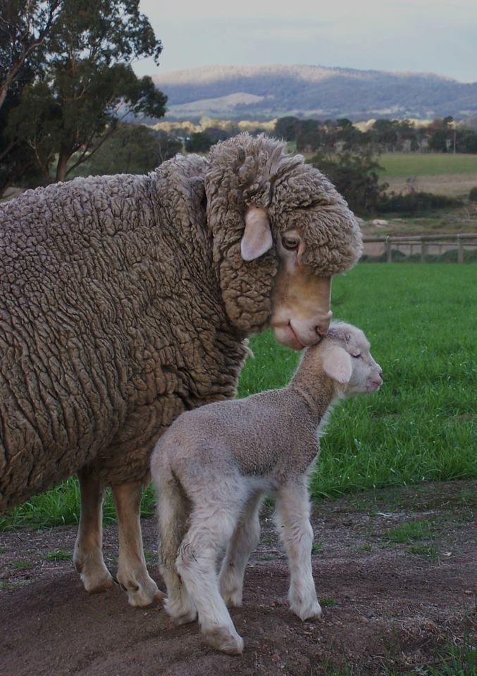 Mamma and baby sheep