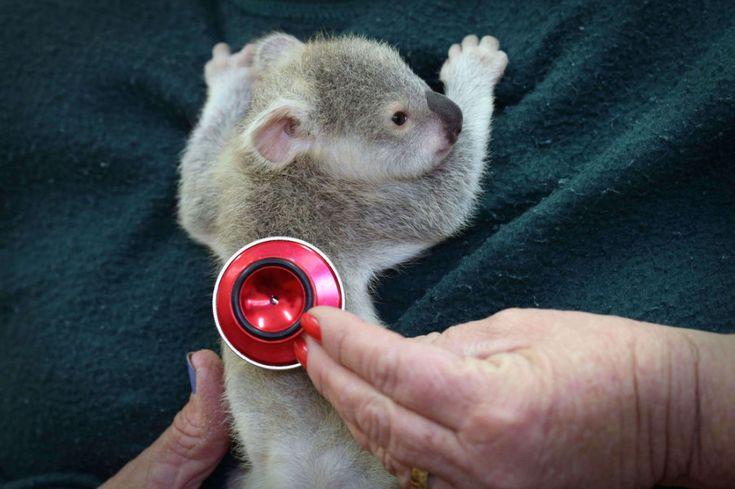 Осиротевший детеныш коалы