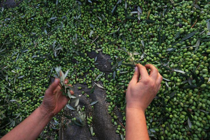 New and early Koroneiki Olive Harvest Oct.2013 /  Neue und frühe Koroneiki Oliven Ernte Okt.2013.