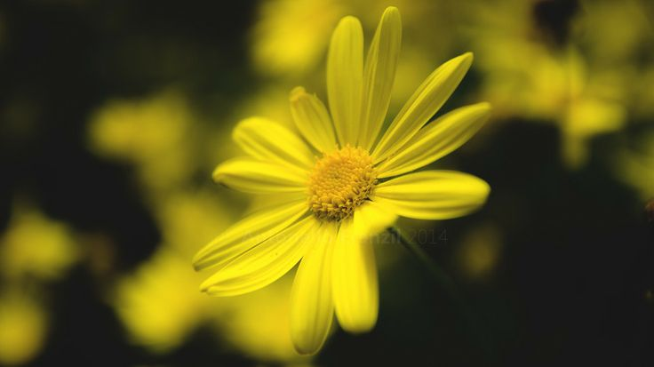 Margherita - Daisy by Antonello Franzil on 500px