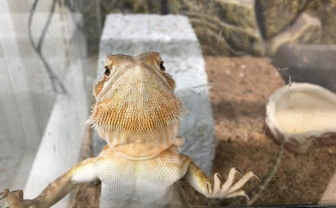 フトアゴヒゲトカゲの特徴と飼育方法 飼育の大変さや人になつく性格なの Woriver トカゲ エリマキトカゲ 性格