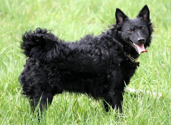 Муди – универсальные собаки. Они отлично проявляют себя как охранники, сторожа, охотники, пастухи и служебные собаки. Муди также прекрасные компаньоны. Они активные и смелые, хорошо обучаемые. Лежать весь день на диване – это не про муди