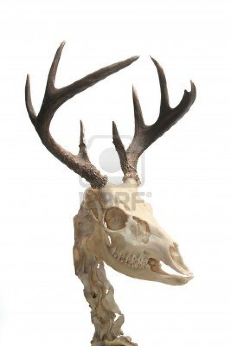 teschio di cervo dalla coda bianca
