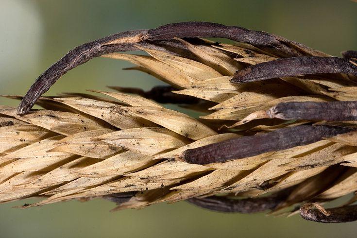 http://www.entofito.com/image/2015/02/Claviceps-purpurea.jpg