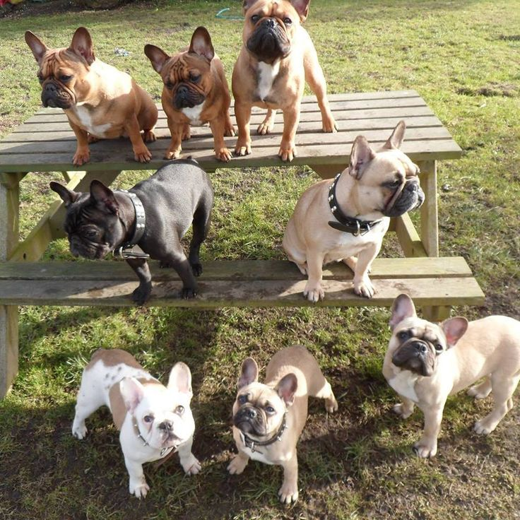 French Bulldogs at the Park