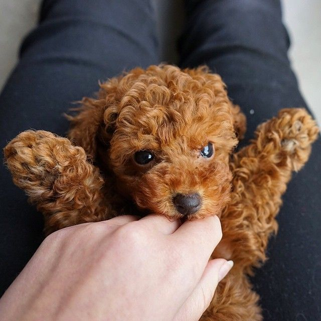 Red Toy Dogs : Red toy poodle say hi to jinkee the patch
