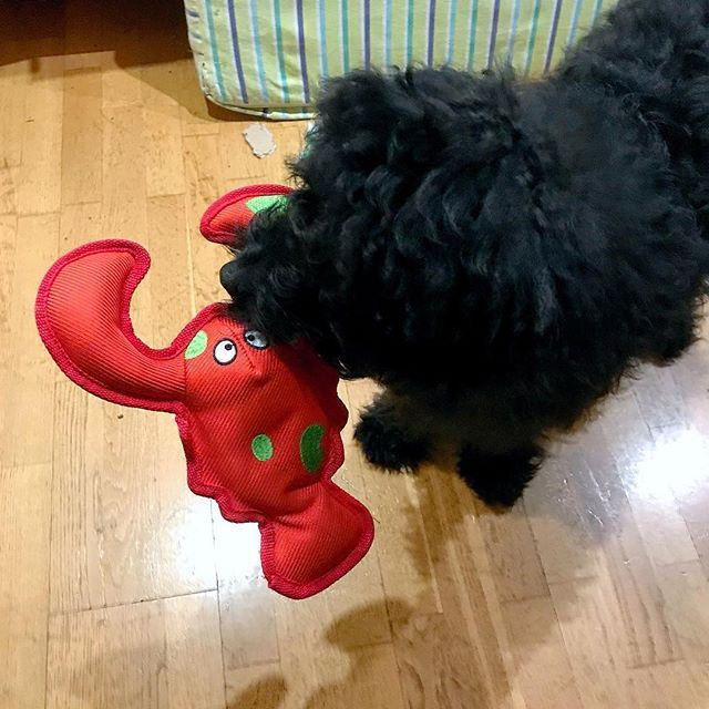 I got a new toy!!! Its a lobster!  its sturdy and has a discreet squeak.  #kong #kongtoy #kongdogtoy #lobster #squekylobster  #dogtoy #labradoodle #labradoodlesofinstagram