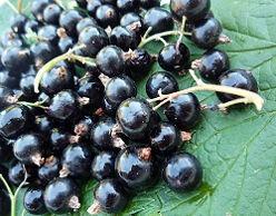 Grow Blackcurrants - wikiHow