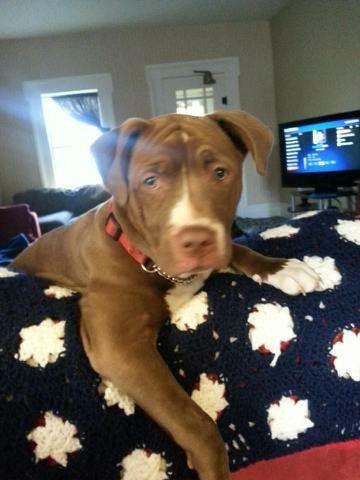 "Pitbull puppy- ""aren't you done working yet mom"" RIIP princess Karma., til we meet again."