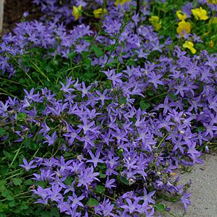17 best images about campanula bellflower on pinterest for Low maintenance partial sun plants