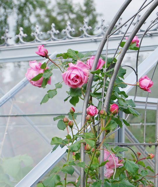 Dansk side med smukke roser