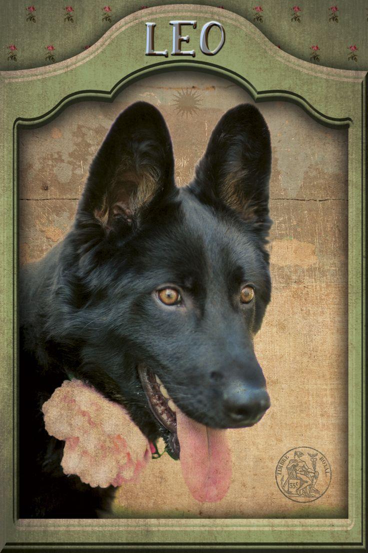 Cruce de pastor alemán en adopción. APATA. Protectora de animales de Tarazona (Zaragoza): +34 688987615