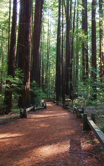 Armstrong Redwood Grove near Guerneville, CA