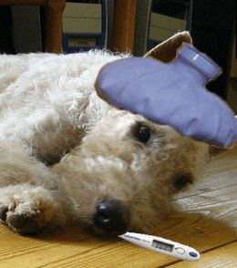 Learn some effective vet-approved dog upset stomach, natural remedies to treat your dog's stomach problems at home.  Easy to make dog bland diet recipe, straight from your kitchen's pantry!