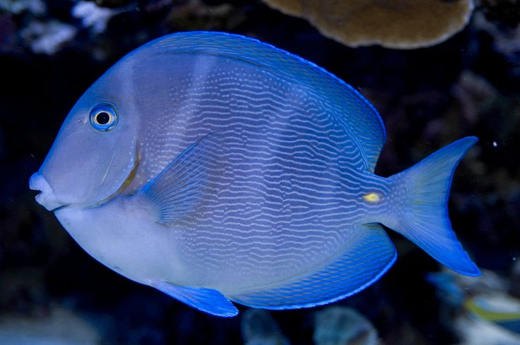 360 best images about tropical marine biology on pinterest for Blue saltwater fish