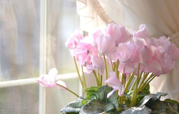 Обои картинки фото дом, окно, цветы, розовые, цикламен
