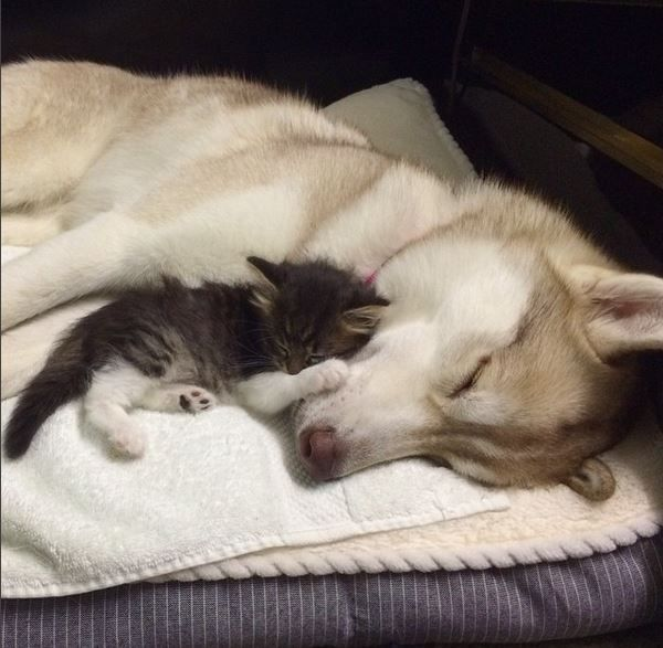 Rosie the kitten sleeping with Lilo the husky