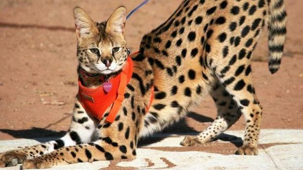 Tigger, an African serval cat, went missing from his owners' farm in March.