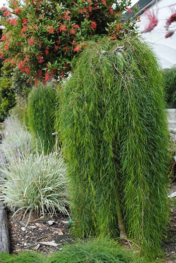 weeping water mature singles Weeping trees multi stem trees mature trees  aka weeping birch, betula pendula  garden hose or slightly soapy water pruning advice for betula pendula.