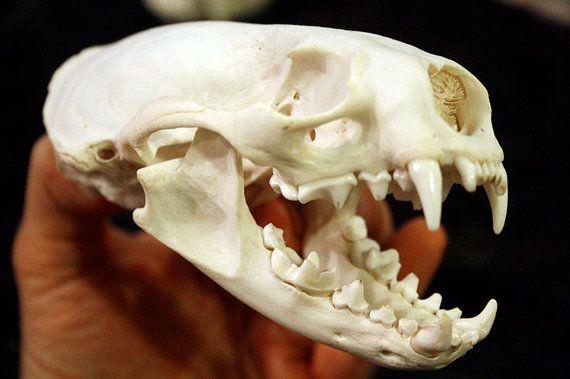 custom order river otter skull