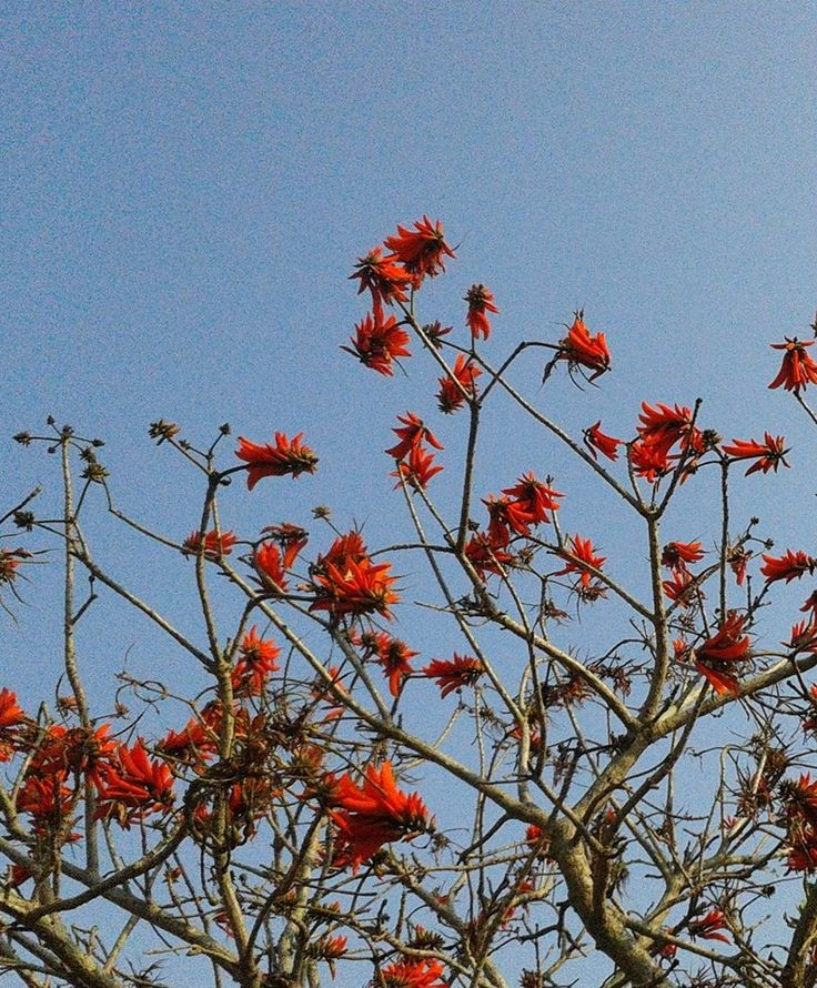 Coral tree in bloom. Winter in Durban.