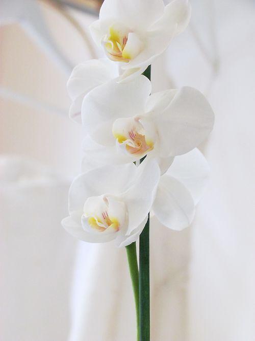 Couture Hayez orchidea  Il significato dei fiori : un 'orchidea per ringraziare oggi nel blog sposa di Couture Hayez http://www.couturehayez.com/blog/il-significato-dei-fiori-unorchidea-per-ringraziare/