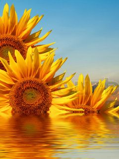 Nice Download free Sunflowers Mobile Wallpaper contributed by curtisgym, Sunflowers Mobile Wallpaper is uploaded in Nature Wallpapers category. 1