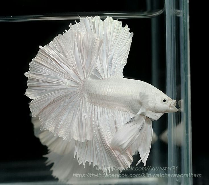 808 platinum white hm male from aquastar71 bettas for Baby betta fish care