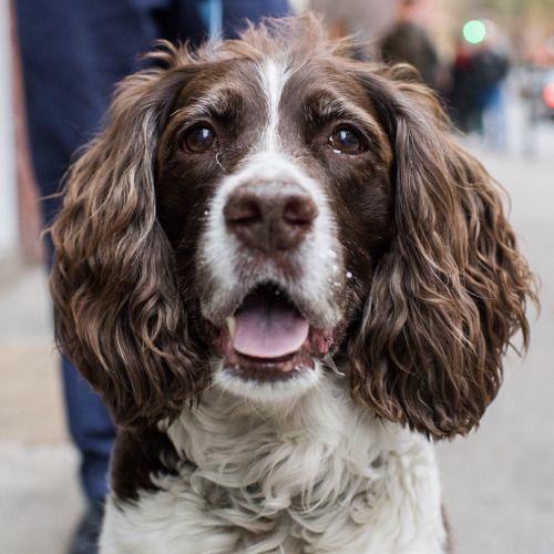 42 best springer spaniel images on pinterest doggies - Free cocker spaniel screensavers ...