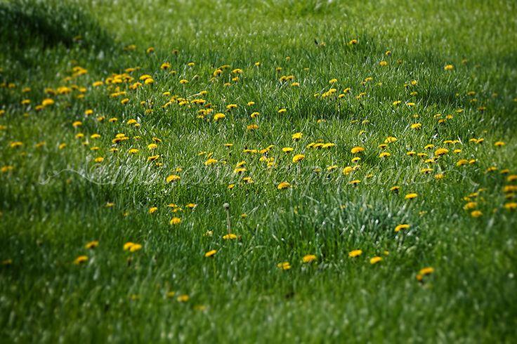 verde crud, primavara, papadii, fresh green, spring, dandelions, frisch grun, fruhling, lowenzahn, frais, ressort, pissenlits,