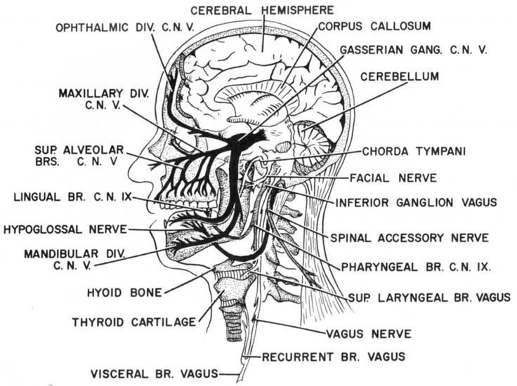 cranial nerve mnemonics
