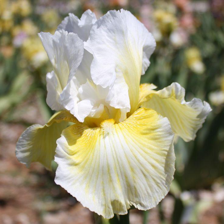 Tall Bearded Iris 'Glowing Smile'