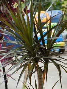 How to Care for a Dracaena Marginata Plant aka Madagascar Dragon Tree