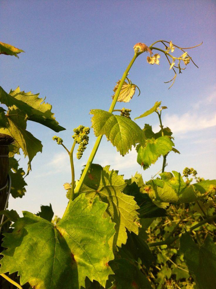 Organic viticulture at La Cappuccina since 1985