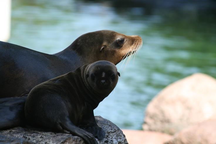 Zeeleeuwen in Dierenpark Emmen
