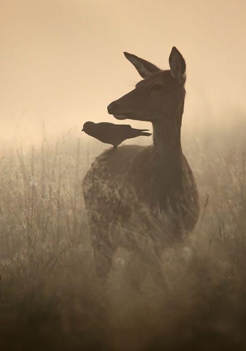 : Ears Mornings, Friends, Natural Scene, The Crows, Birds, Photo, Deer, Animal, Mornings Lights