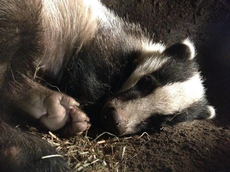 AMERICAN BADGER....a short-legged mammal native to the woodlands and hedgerows of North America....measures 29 to 35 inches long including the tail....aggressive with few natural enemies