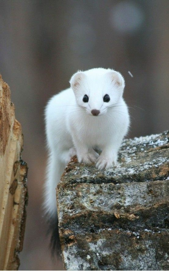 Short-tailed weasel (ermine) in winter. From brown to snow white except for the tell-tale black tip on the tail.