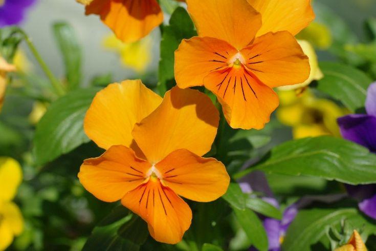 Bunte Frühlingsblumen erhellen die Gemüter
