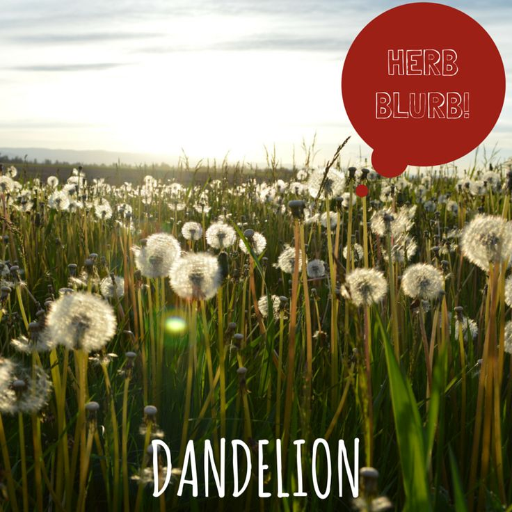 According to #TCM, dandelion is said to be cooling, treating a wide variety of maladies, and can used both internally and externally.  Some of its' uses include, allergies, dizziness, cold and flu, sinus infections, sore throat, nosebleeds, snoring, and a host of skin conditions, including acne, eczema, psoriasis, hives, rosacea, sunburn, insect bites, and poison ivy and poison oak.  It can also be used to help boost metabolism for low energy and obesity. #YSU #Acupuncture #DYK