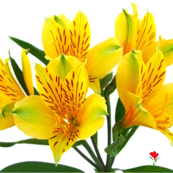 Yellow Alstroemeria from Flores Funza. Variety: Isola ...